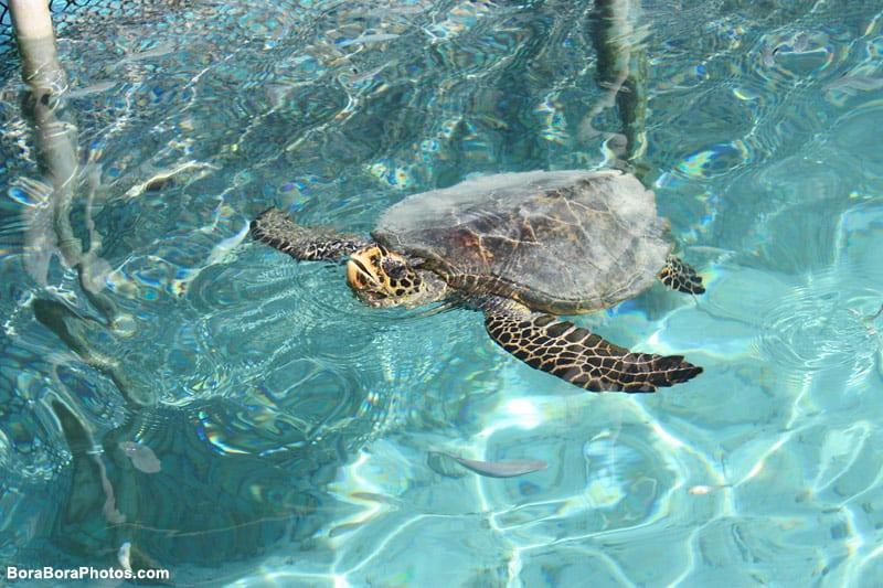 Lagoonarium Sea Turtle | boraboraphotos.com